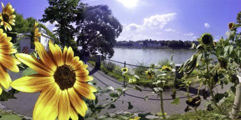 Basel am Rhein mit Sonnenblumen